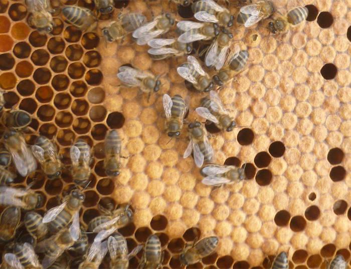 Abeilles préparent le miel