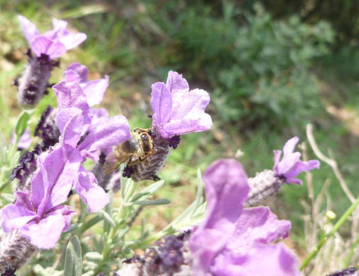Une abeille butine une fleur de lavande