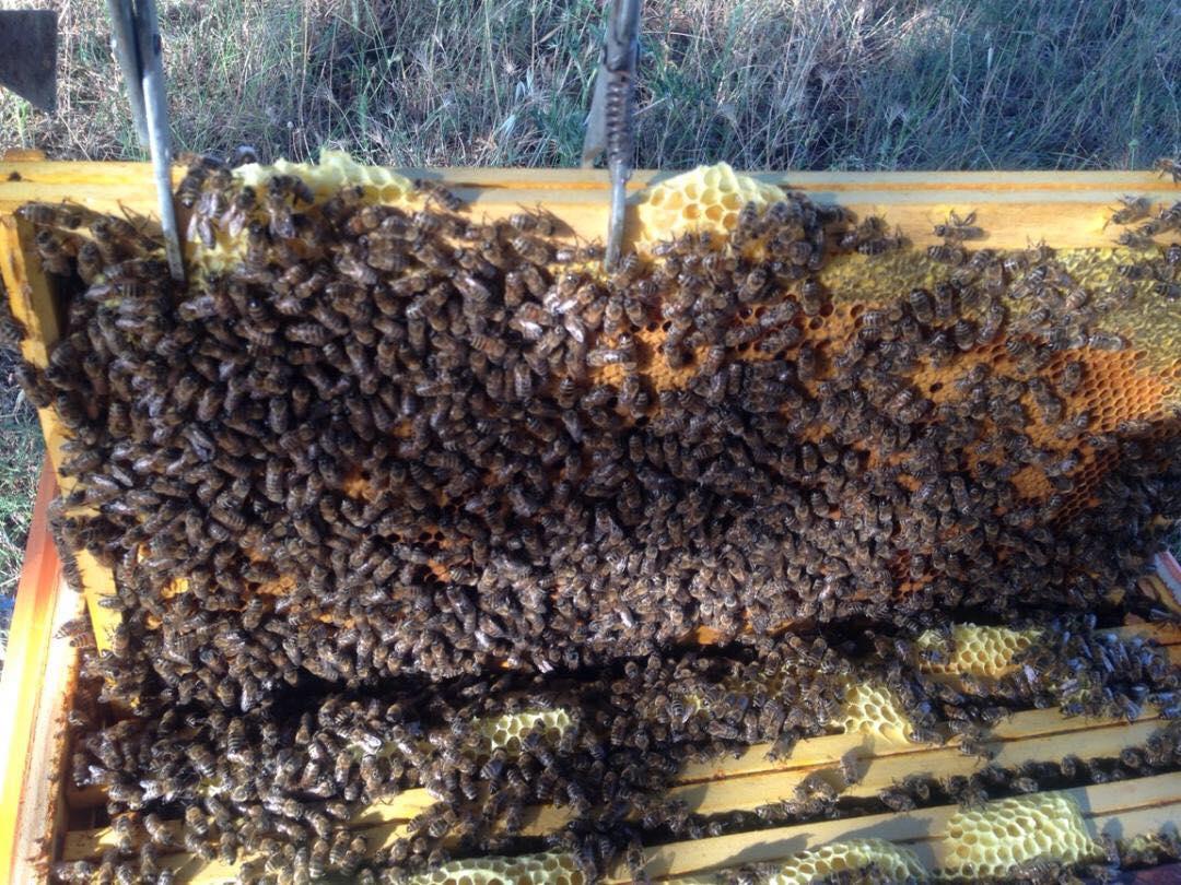 cadre-abeilles-66