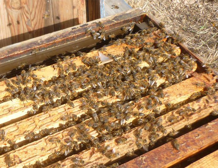 Abeilles sur cadres dans la ruche